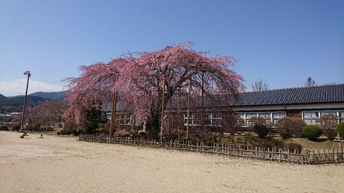 桜に菫にムスカリに水仙…_e0124493_17164675.jpg