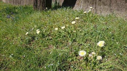 桜に菫にムスカリに水仙…_e0124493_17281585.jpg