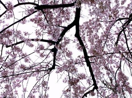 桜の季節ですネ_f0108001_10450668.jpeg