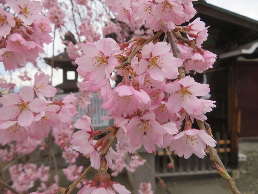 桜情報2_f0014205_09543247.jpg