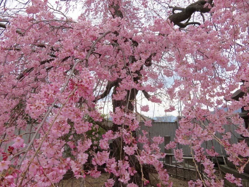 桜情報2_f0014205_09543265.jpg