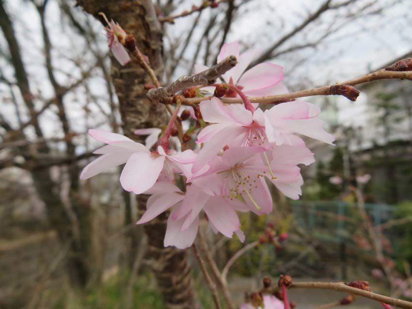 桜情報2_f0014205_09543333.jpg