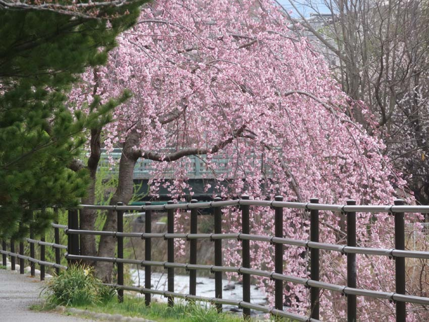 桜情報2_f0014205_09543334.jpg