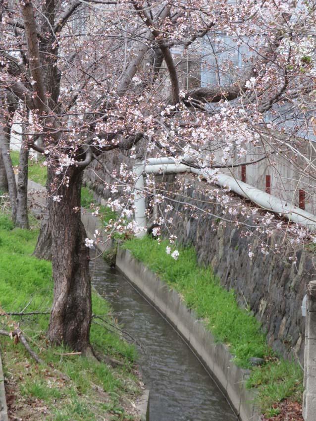 桜情報2_f0014205_09543378.jpg