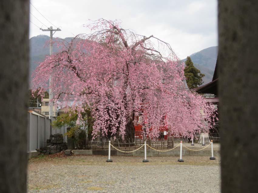 桜情報2_f0014205_09550979.jpg