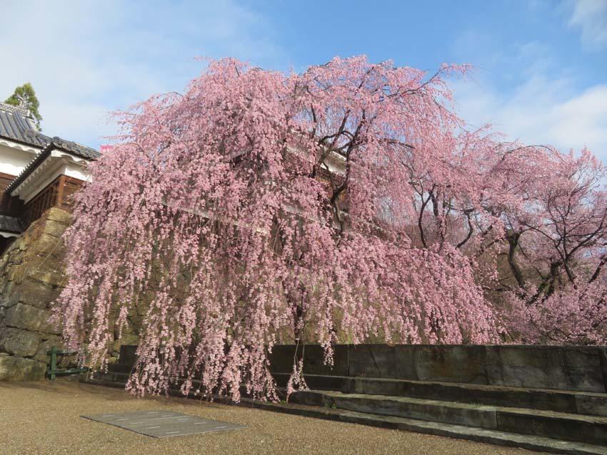 桜情報3_f0014205_14395811.jpg