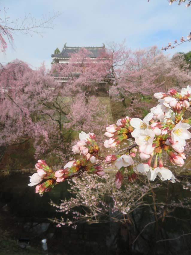 桜情報3_f0014205_14395875.jpg