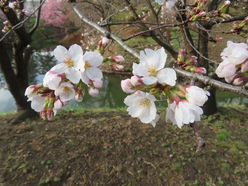 桜情報3_f0014205_14395886.jpg