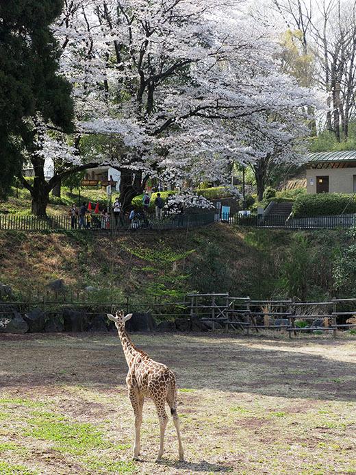 3月31日(水) 最後の桜_f0167208_22302605.jpg