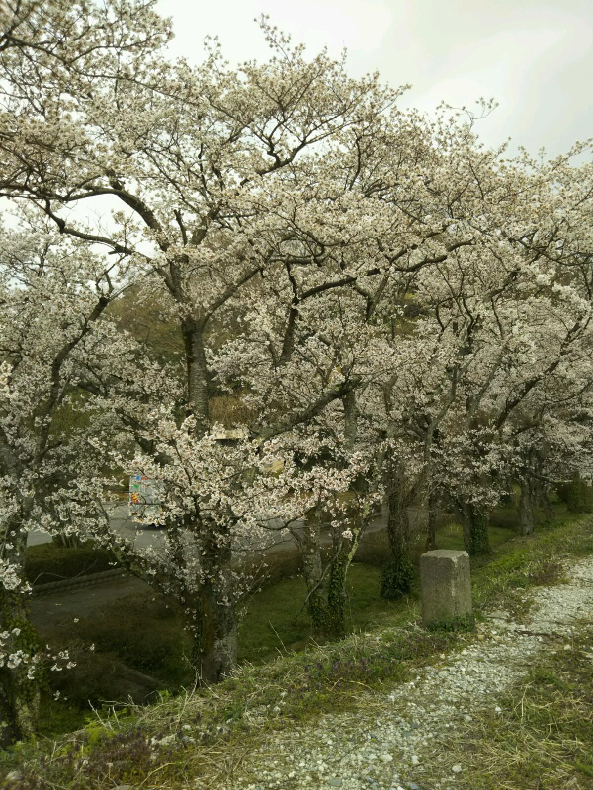 桜満開です。_f0040734_22471313.jpg