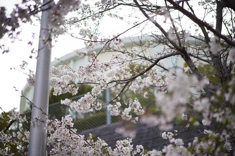 桜_f0167977_16000597.jpg