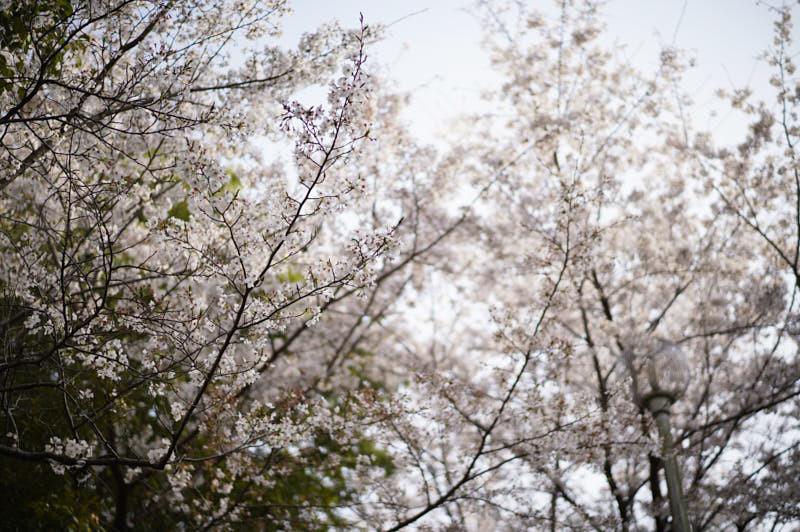 桜_f0167977_16000633.jpg