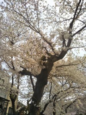 春満開_a0124393_13263059.jpg