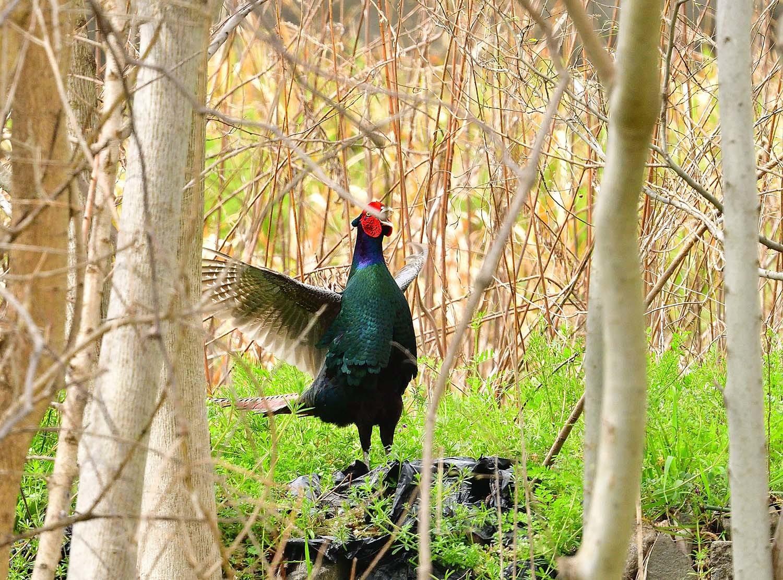 日本の国鳥:キジ(母衣打ち) : 喜びを伝える~喜傳