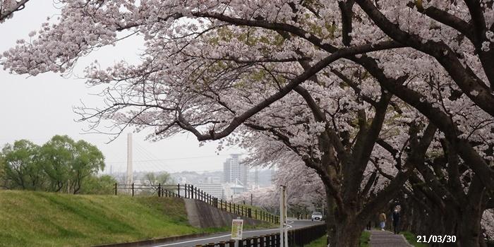 お花見、長池公園と近場でお花見_c0051105_22310192.jpg