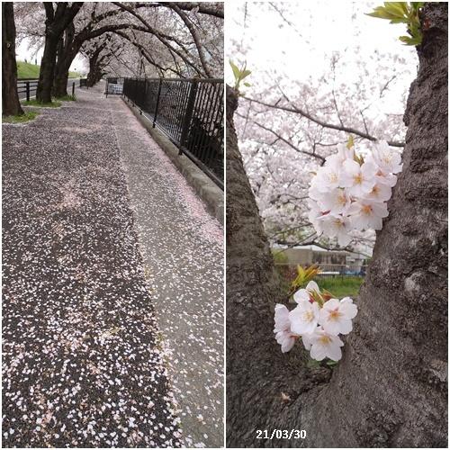 お花見、長池公園と近場でお花見_c0051105_22313206.jpg