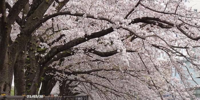 お花見、長池公園と近場でお花見_c0051105_22330812.jpg