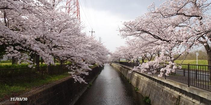 お花見、長池公園と近場でお花見_c0051105_22341547.jpg