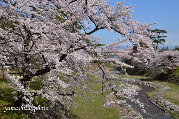 近隣の桜も満開に。朝から空は霞んでいる。_a0158609_10291015.jpg