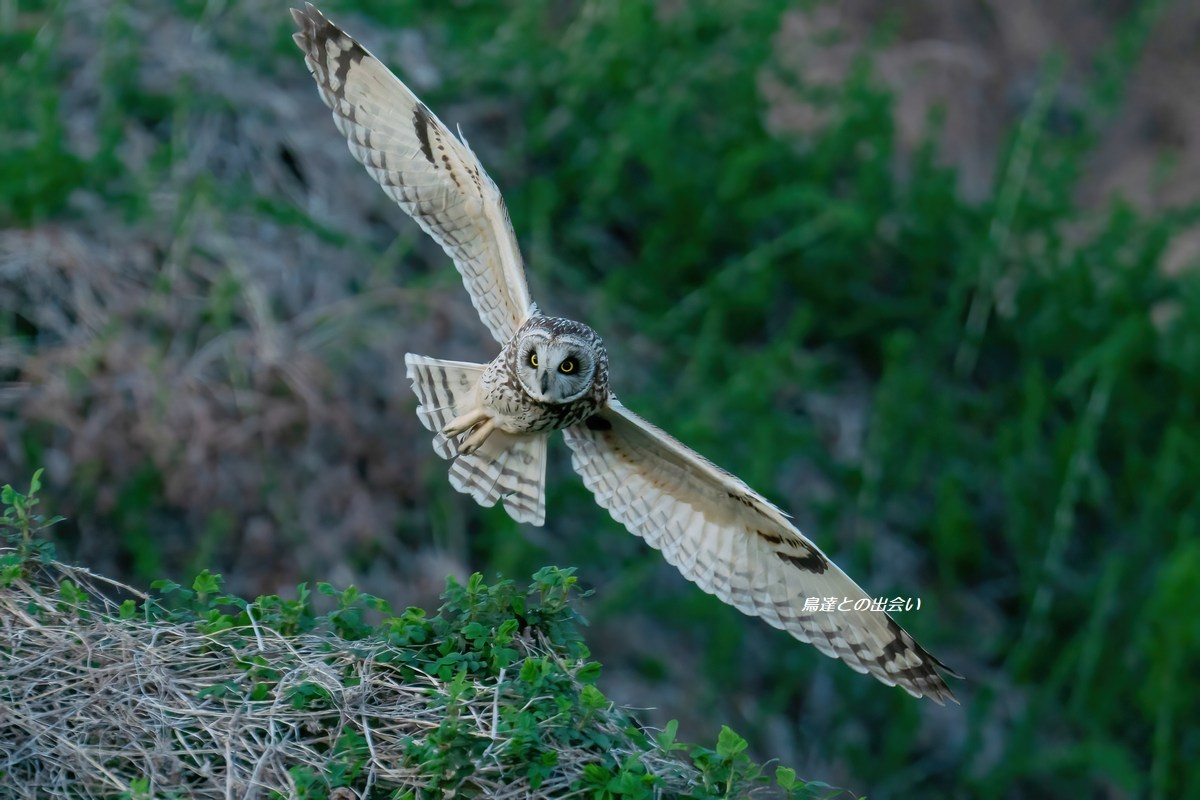 コミミズク(飛翔)・・・Short-eared Owl  (Flying)_e0139623_19345761.jpg