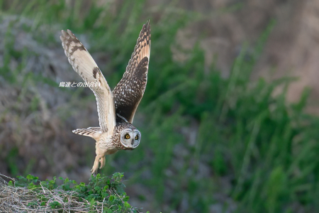 コミミズク(飛翔)・・・Short-eared Owl  (Flying)_e0139623_19350382.jpg