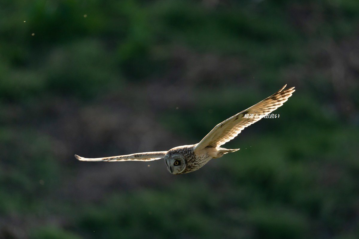 コミミズク(飛翔)・・・Short-eared Owl  (Flying)_e0139623_19351027.jpg