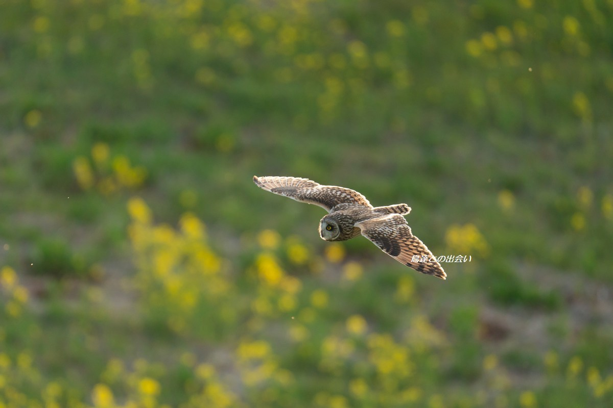 コミミズク(飛翔)・・・Short-eared Owl  (Flying)_e0139623_19351669.jpg
