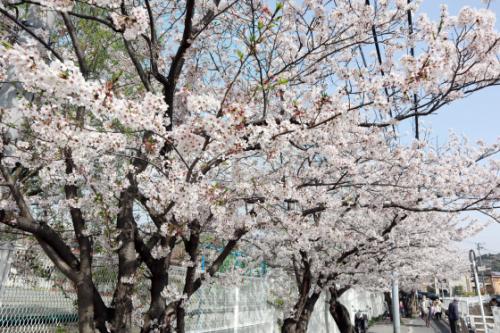 機能訓練 ~ 桜の下で屋外歩行訓練 ~_e0222340_15243336.jpg