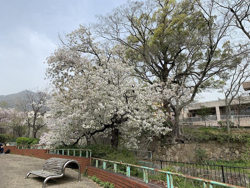 桜(灘 神戸)_b0279441_18190319.jpeg