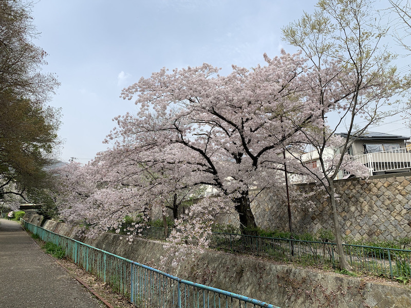 桜(灘 神戸)_b0279441_18190473.jpeg