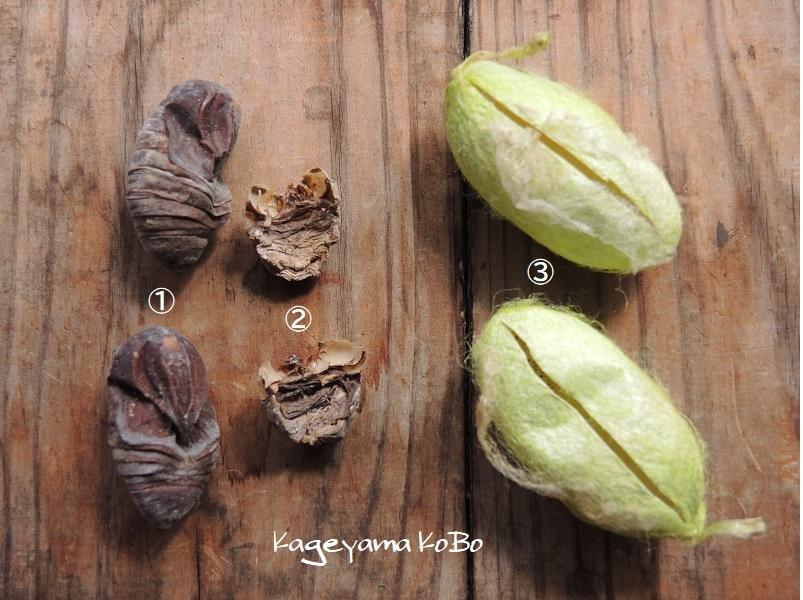 天蚕の繭を手に入れました_f0175143_23003874.jpg