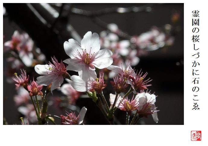 霊園の桜しづかに石のこゑ_a0248481_21114816.jpg