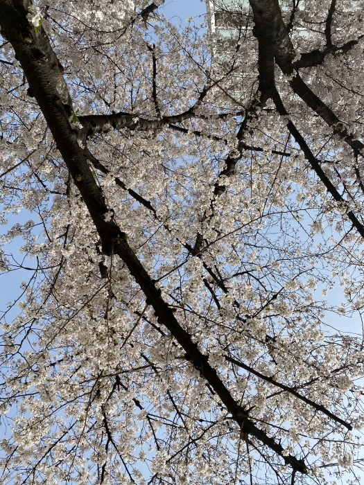 桜_f0202682_09483664.jpeg