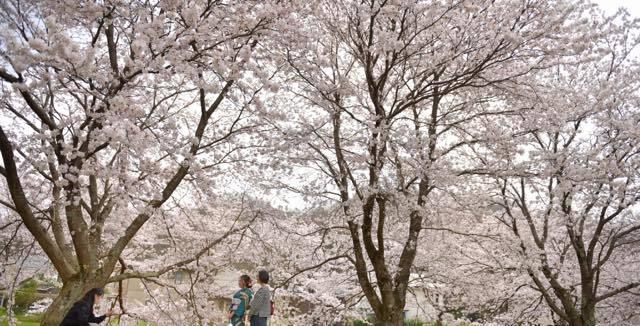 年によっては桜の開花時期がずれてくれて場所........_b0194185_18443616.jpg