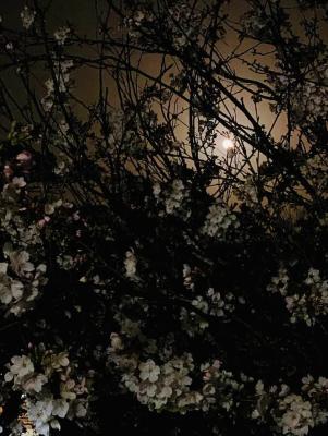 桜と満月_f0043592_14340468.png