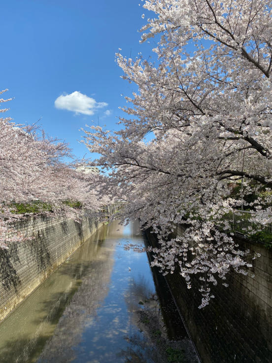 近所の桜を満喫_d0122797_12521536.jpg
