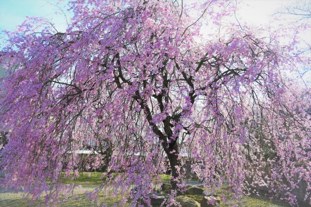 桜巡り2021 ~ 満開の枝垂れ桜_b0356401_13375152.jpg