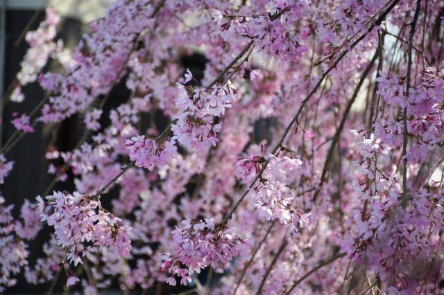 桜巡り2021 ~ 満開の枝垂れ桜_b0356401_13380098.jpg