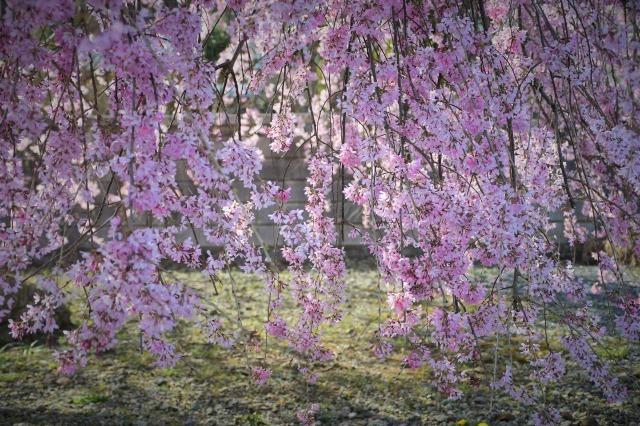 桜巡り2021 ~ 満開の枝垂れ桜_b0356401_13380564.jpg