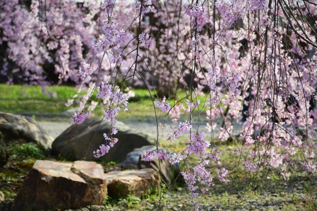 桜巡り2021 ~ 満開の枝垂れ桜_b0356401_13381380.jpg