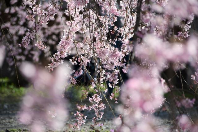 桜巡り2021 ~ 満開の枝垂れ桜_b0356401_13381634.jpg