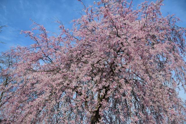 桜巡り2021 ~ 満開の枝垂れ桜_b0356401_13382515.jpg