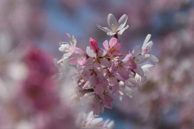 桜巡り2021 ~ 満開の枝垂れ桜_b0356401_13382808.jpg