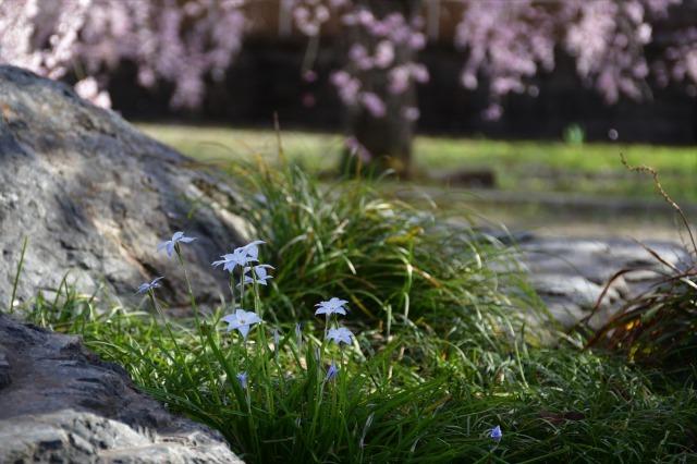 桜巡り2021 ~ 満開の枝垂れ桜_b0356401_13390659.jpg