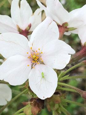 桜とワカバグモ_e0116207_23071042.jpg