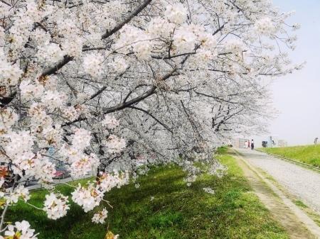 桜の頃_f0036209_11043675.jpg