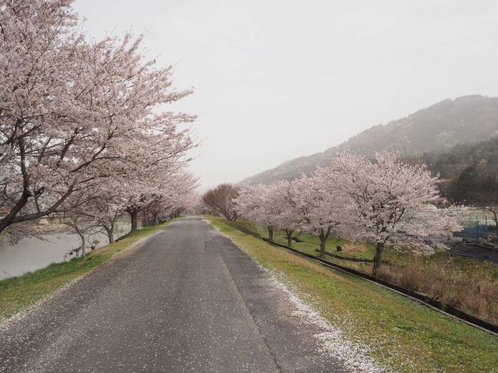 神ノ倉山登山(満開の桜)_c0116915_00411770.jpg