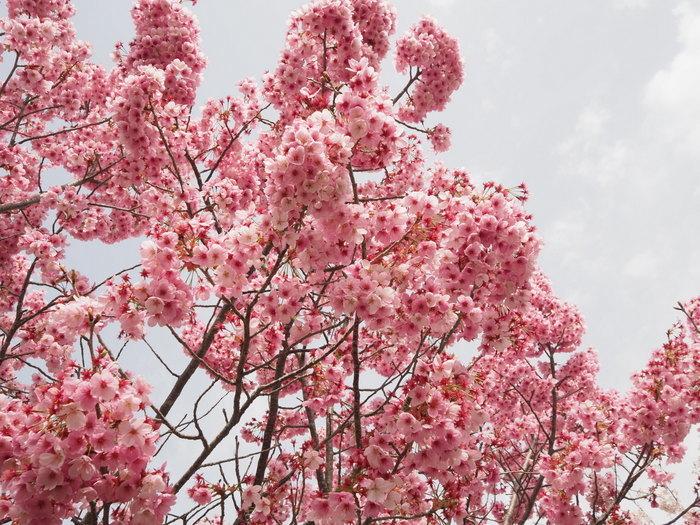 神ノ倉山登山(満開の桜)_c0116915_00412822.jpg
