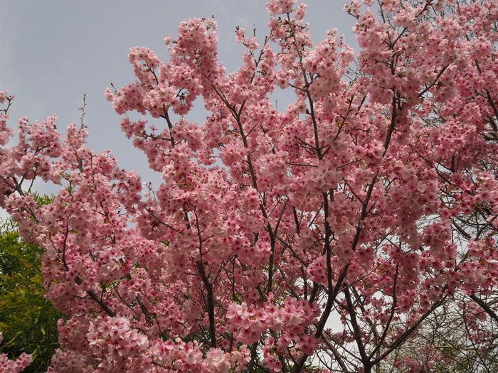 神ノ倉山登山(満開の桜)_c0116915_00413824.jpg