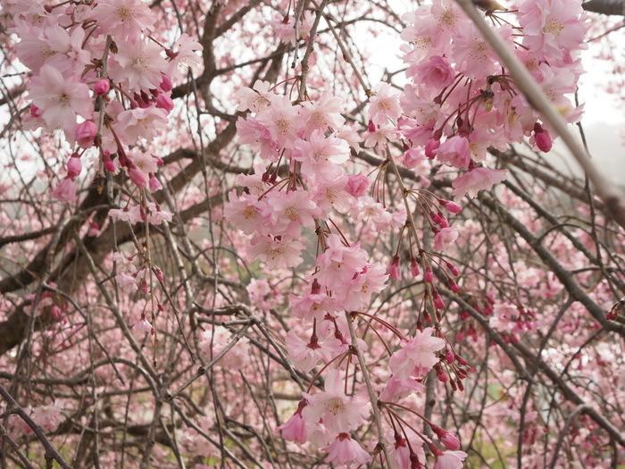神ノ倉山登山(満開の桜)_c0116915_00415693.jpg